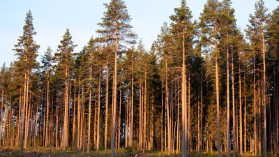 Mellanskog inför medlemspremie på timmer
